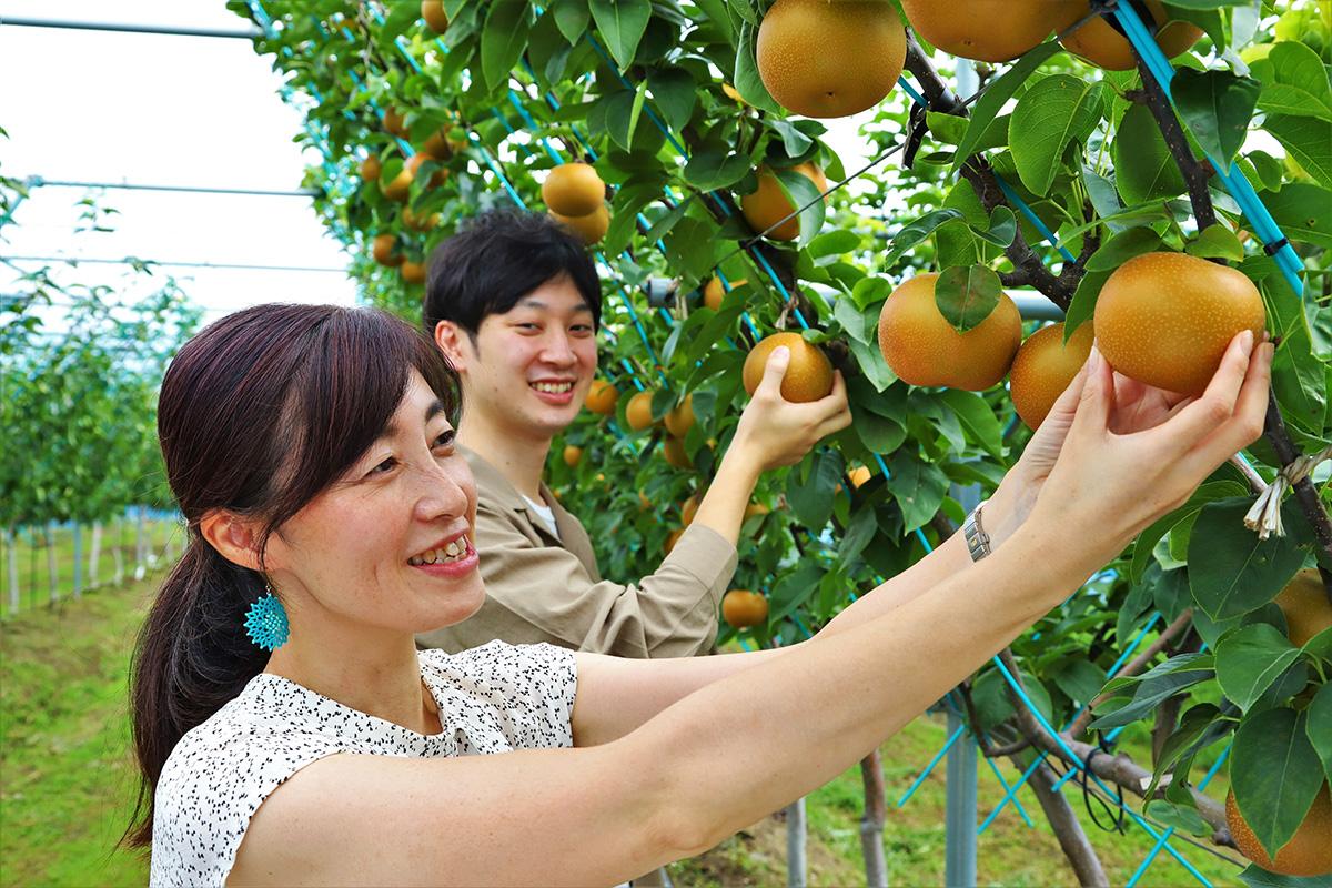 ナシ園は、斜めの枝に実を付けるジョイント栽培。低い位置に実があるので子供も採りやすい。