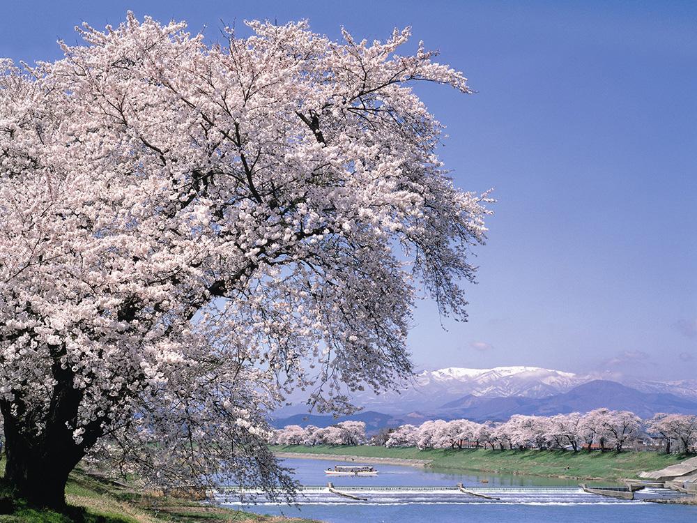 白石川堤 一目千本桜の風景