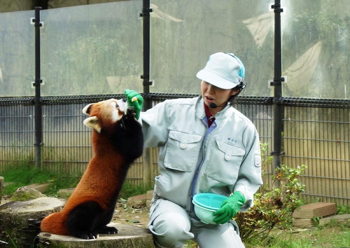 仕草がかわいいレッサーパンダの様子