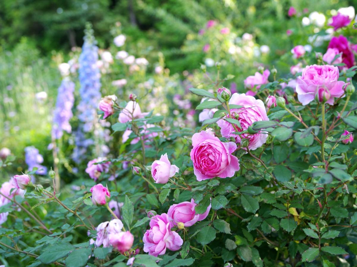 6月上~中旬。バラと宿根草の共演はガーデンのもう一つのみどころの様子