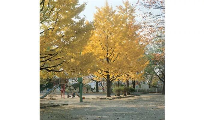 イチョウの黄葉が美しい広場の様子